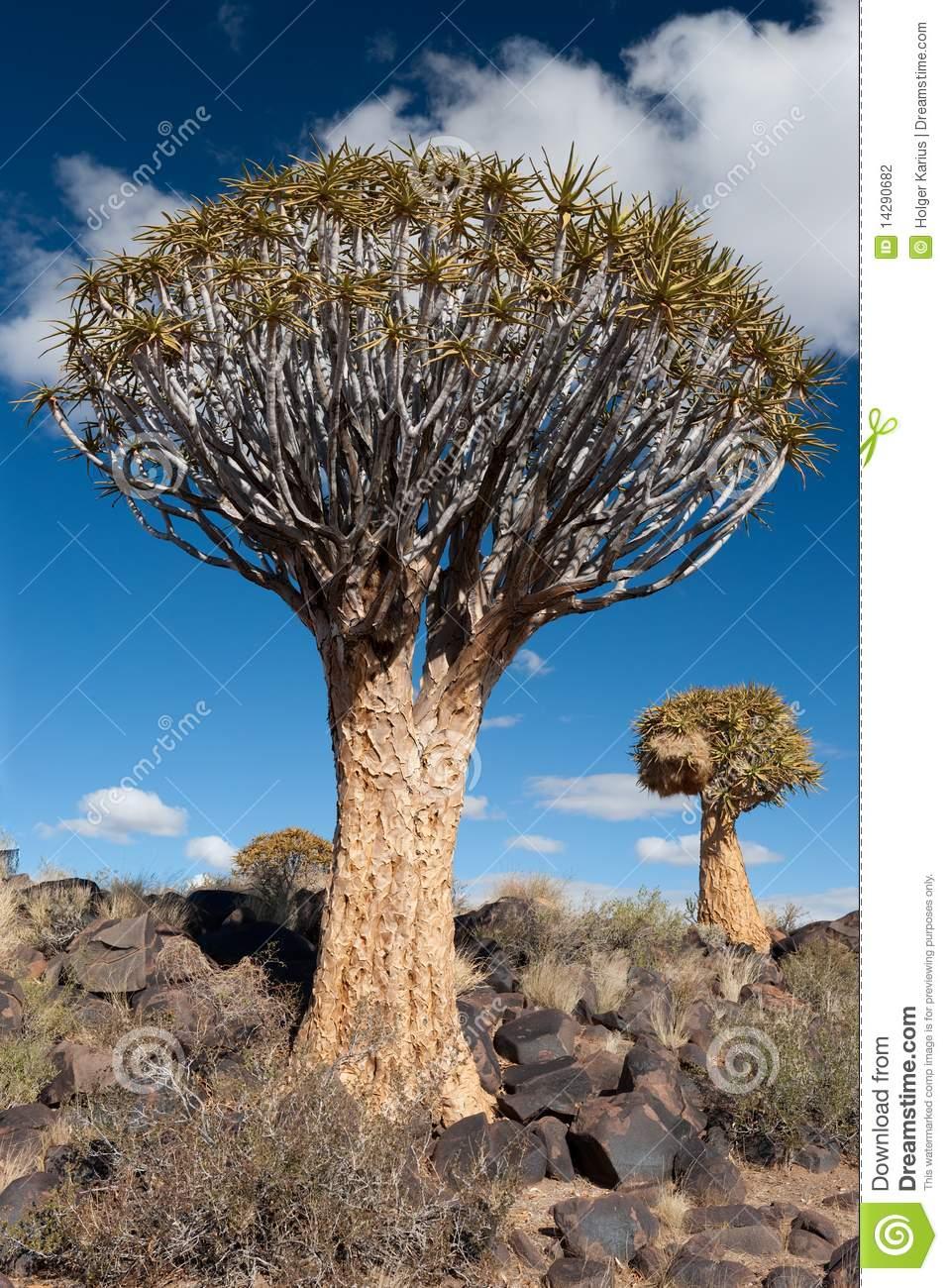 Quiver Tree (Aloe Dichotoma) Stock Photography.