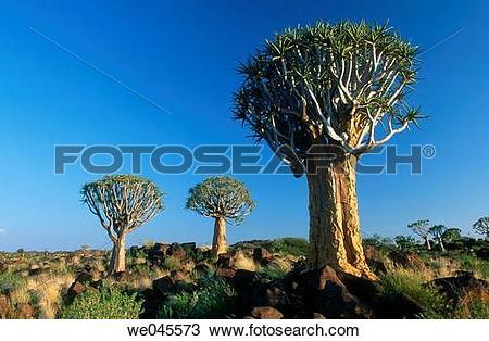 Stock Photo of Quiver Tree (Aloe dichotoma). Namibia we045573.