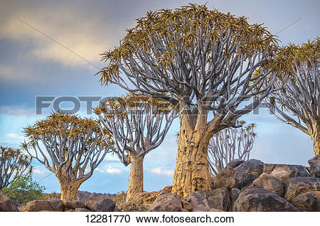 Stock Photography of Quiver tree (Aloe dichotoma) forest in the.