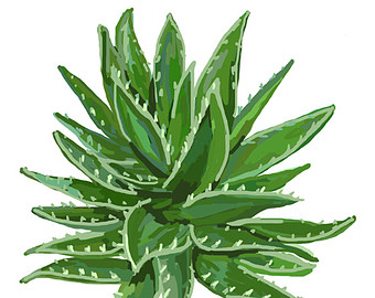 Aloe plant clipart.