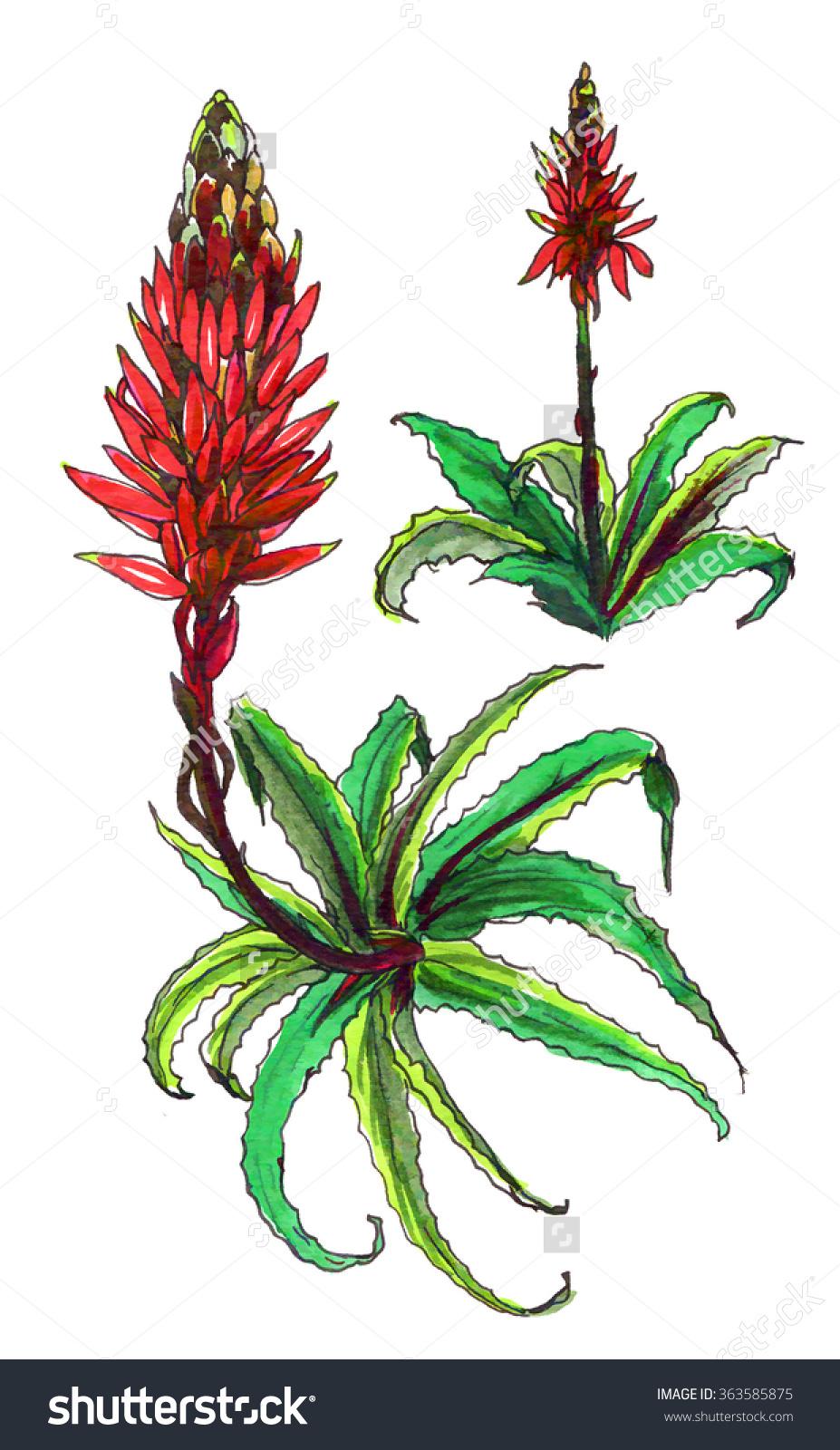 Decorative Red Aloe Vera Cactus Blossom Stock Illustration.