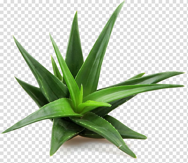 Green aloe vera plant, Aloe vera Succulent plant Skin care.
