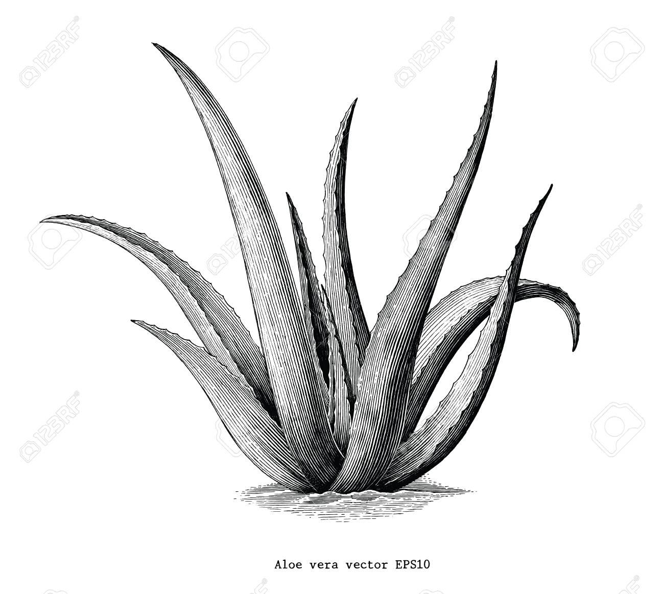 Aloe vera hand draw vintage botanical clip art isolated on white...