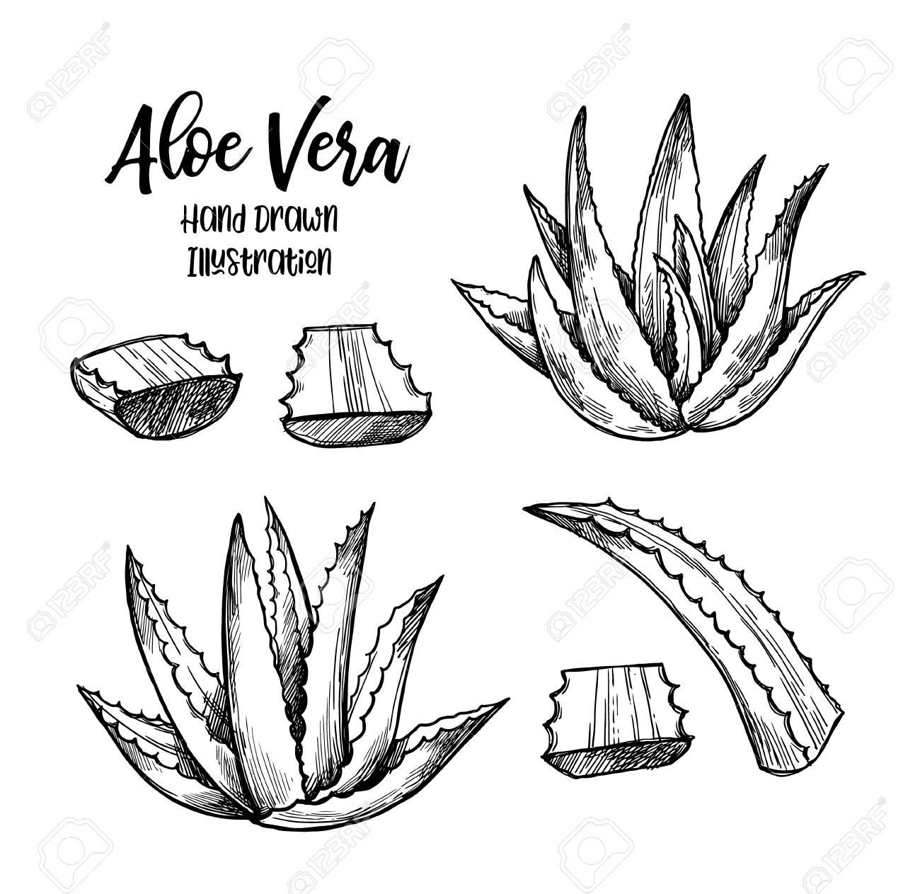 Hand drawn vector illustration. Aloe vera. Herbal plant. Clipart...
