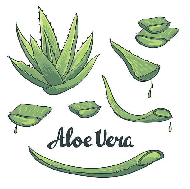 Best Aloe Vera Illustrations, Royalty.