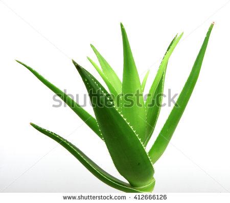 Aloe Vera Plant Isolated On White Stock Photo 412666132.