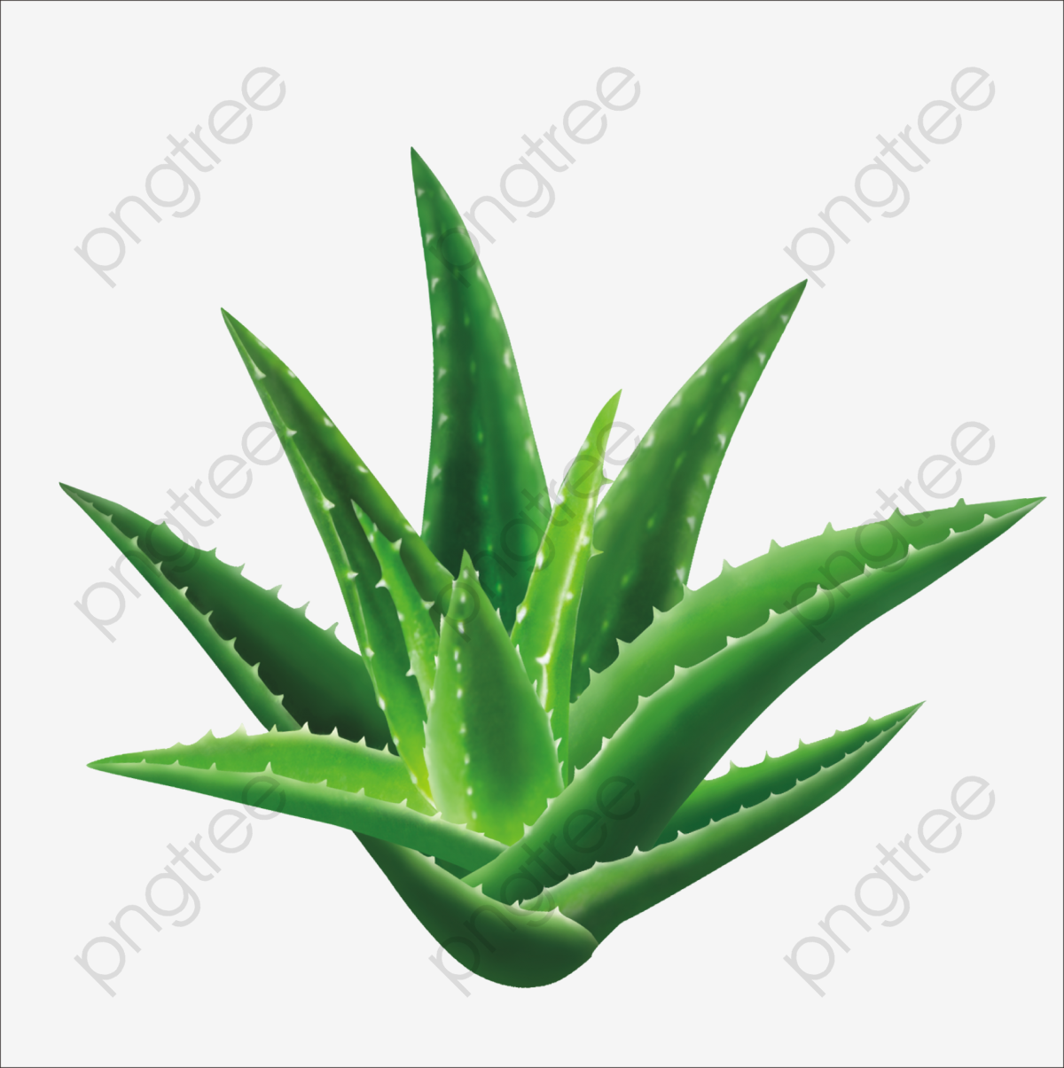 Aloe, Plant Photography, Aloe Perspective, Clear Aloe PNG.