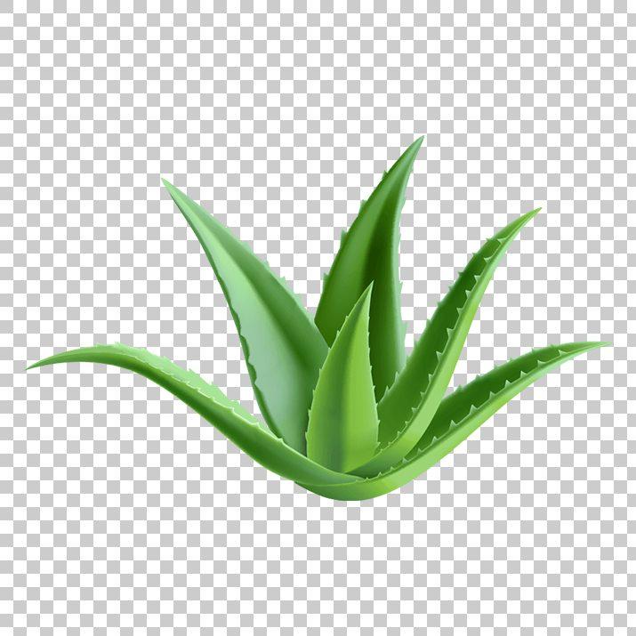 Aloe Vera PNG Clip Art Free Download searchpng.com.