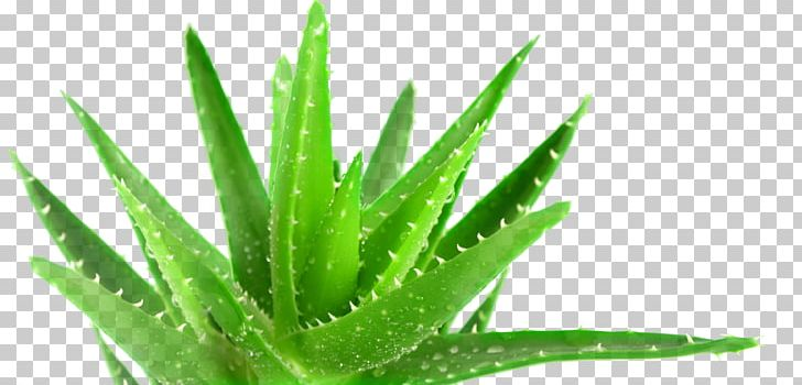Aloe Vera Plant Medicine Forever Living Products Health PNG, Clipart.