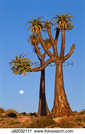 Picture of Moon rising behind giant tree aloes, Aloe pillansii.