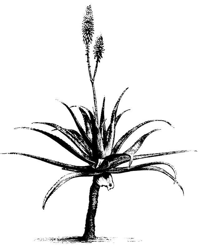 Aloe Vera clip art image.