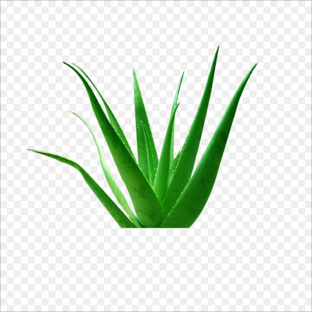 Png Aloe Vera Euclidean Vector Plant Icon Aloe.