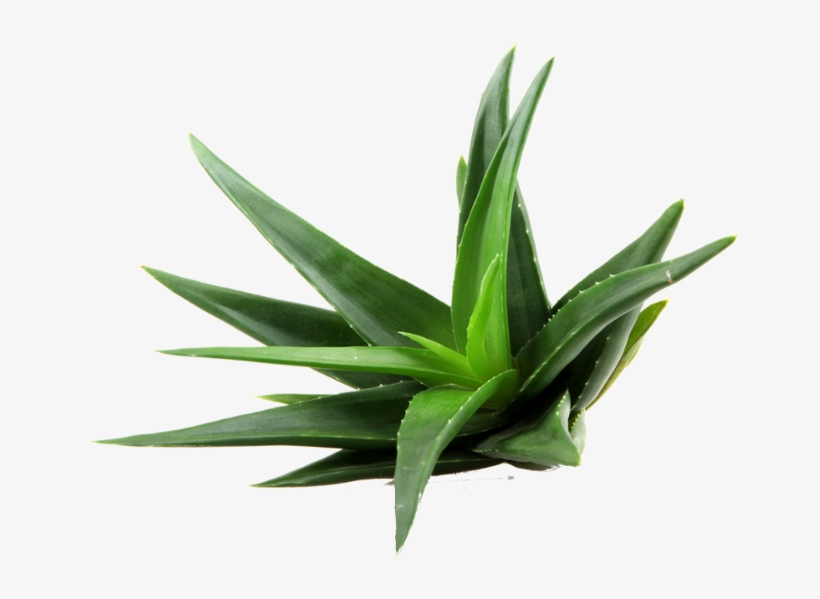 Aloe Png Clipart.