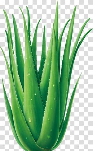 Green aloe vera plant, Aloe vera Cartoon Plant, Fresh.