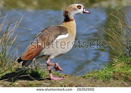 Egyptian Geese Stock Photos, Royalty.