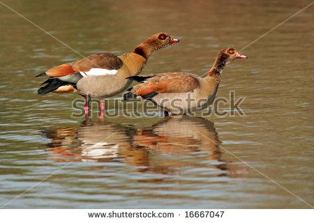 "egyptian Geese"" Stock Photos, Royalty."