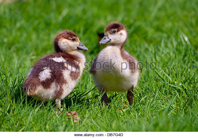 Little Chicks Stock Photos & Little Chicks Stock Images.