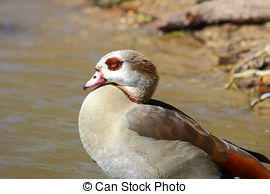 Stock Photography of Close up of Egyptian Goose (Alopochen.