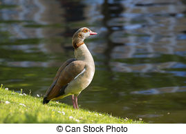 Stock Photography of Two Egyptian Goose standing on the quayside.