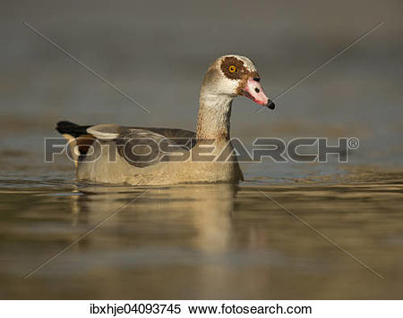 Stock Image of Egyptian Goose (Alopochen aegyptiacus), Luxembourg.