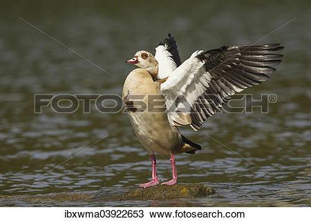 "Stock Photo of ""Egyptian Goose (Alopochen aegyptiacus), beating of."