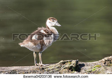 Stock Images of Egyptian goose (Alopochen aegyptiacus), chick, on.