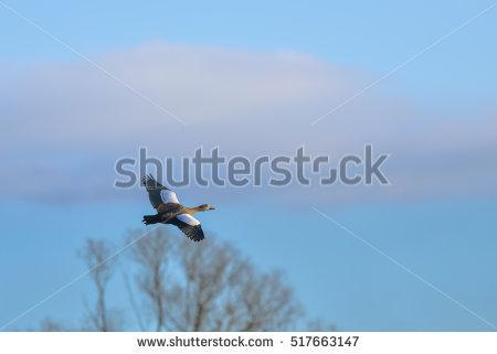 """african Geese"" Stock Photos, Royalty."