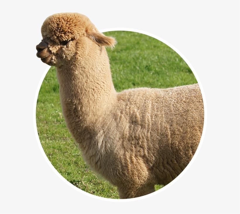 Vertebrate,Alpaca,Llama,Camelid,Mammal,Vicu? a,Terrestrial animal.