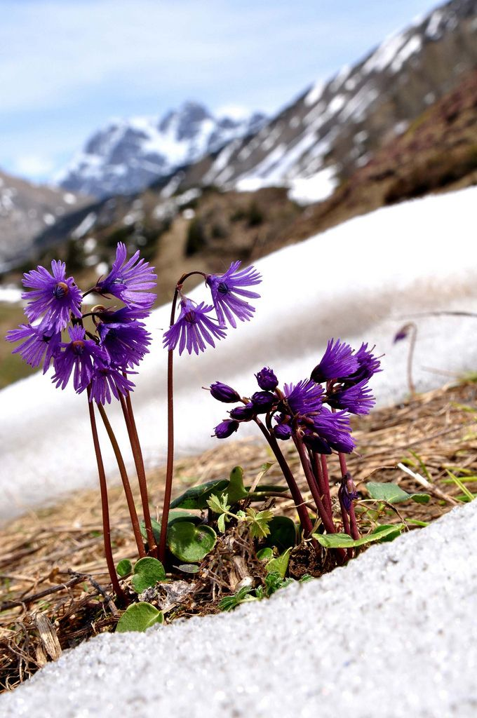 1000+ images about alpenbloemen en planten on Pinterest.