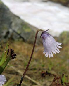 een echte Alpenrose.
