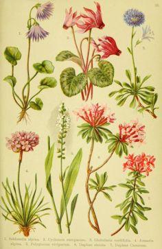 Botanical Print, Dryas octopetala, Mountain avens, White dryad.