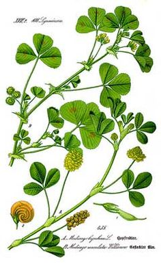 Common Chickweed.