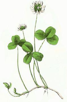 Red clover for fertility.