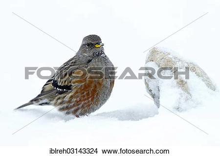 "Stock Photo of ""Alpine Accentor (Prunella collaris) in the snow."