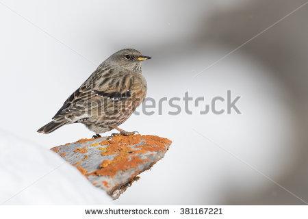 "alpine Birds"" Stock Photos, Royalty."