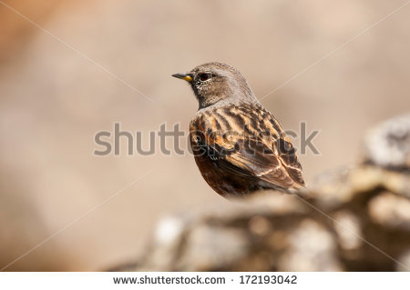 Accentor Stock Photos, Images, & Pictures.