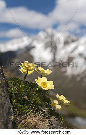Stock Image of Yellow Alpine Anemone, Yellow Alpine Pasque Flower.