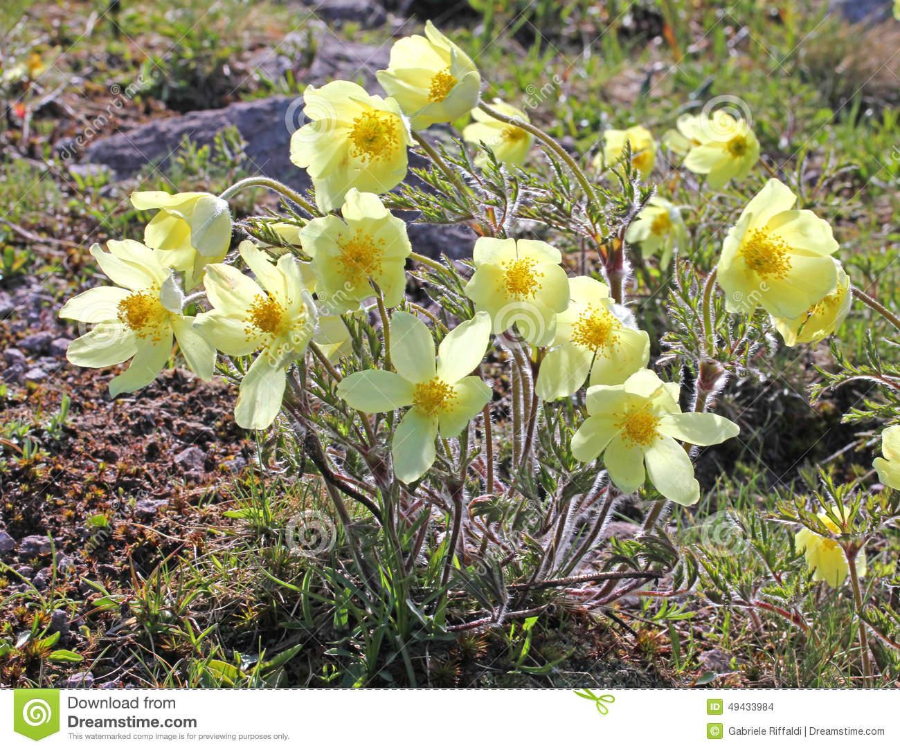 Yellow Anemone Of Mountain (pulsatilla Alpina)) Stock Photo.