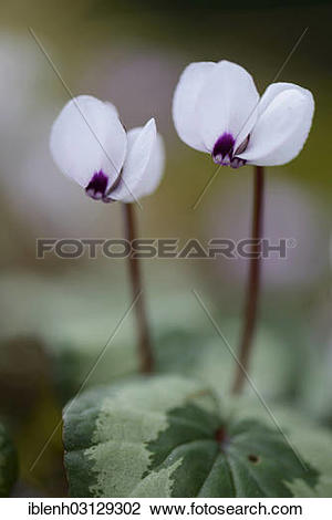 "Stock Photo of ""Flowering white Spring Cyclamen or Spring Alpine."