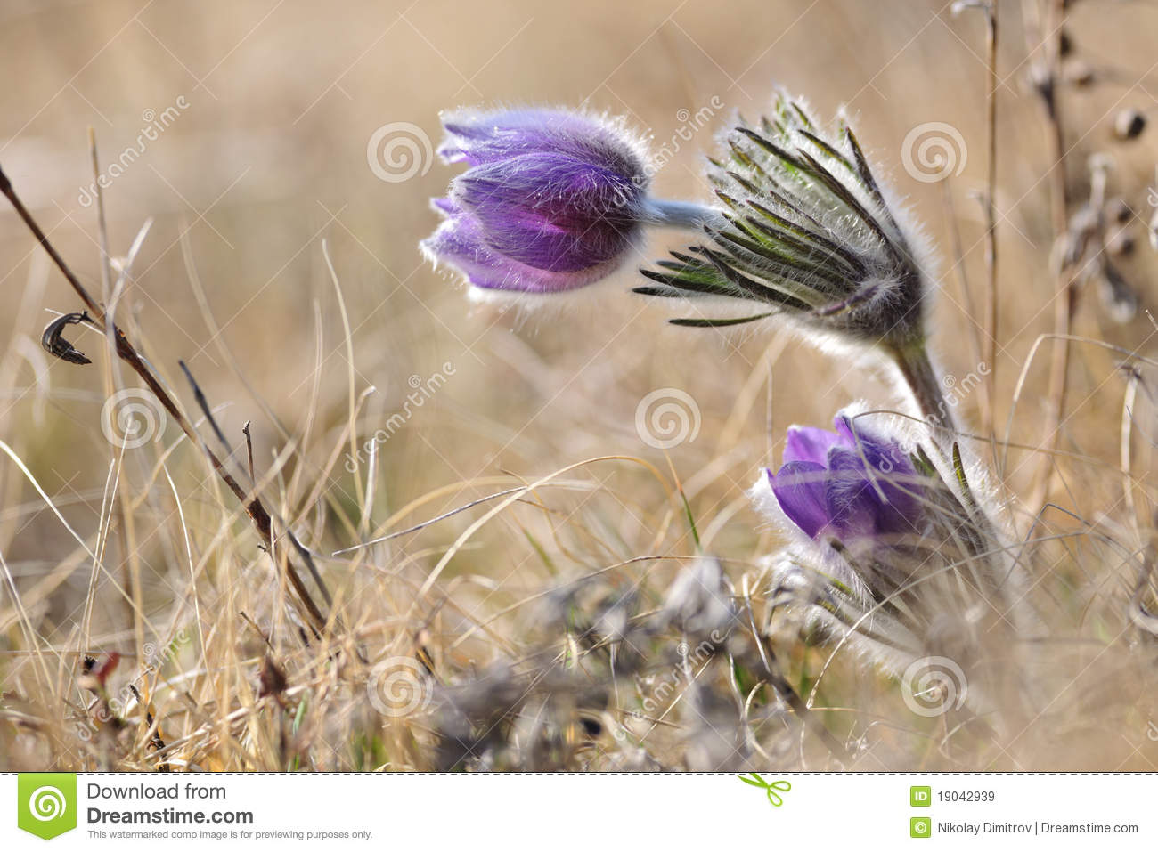 Alpine Anemone Flower Royalty Free Stock Images.