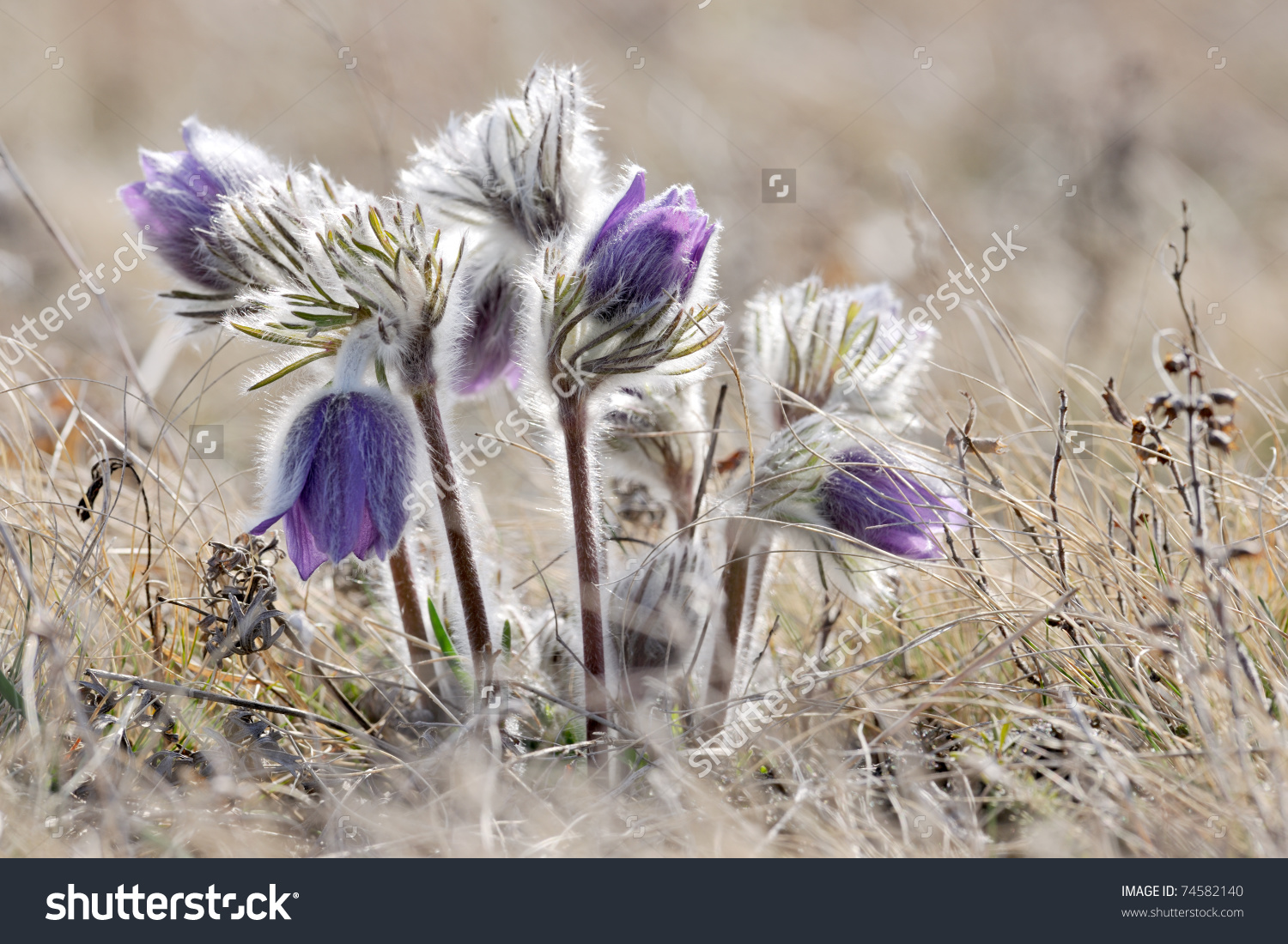 Alpine Anemone Mountain Flower Blossoms Early Stock Photo 74582140.