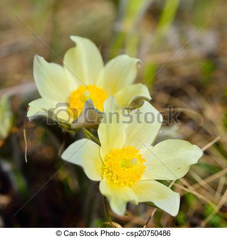 Pictures of Forest primroses in Siberia, Alpine anemone.