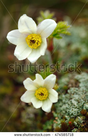 """alpine_anemone"" Stock Photos, Royalty."