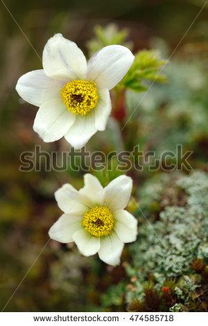 """alpine_anemone"" Stock Photos, Royalty."
