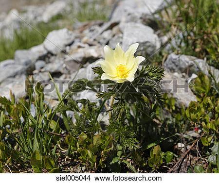 Stock Photo of Austria, Vorarlberg, Close up of Alpine Pasque.
