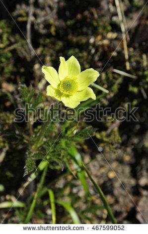 Alpine Anemone Stock Photos, Royalty.