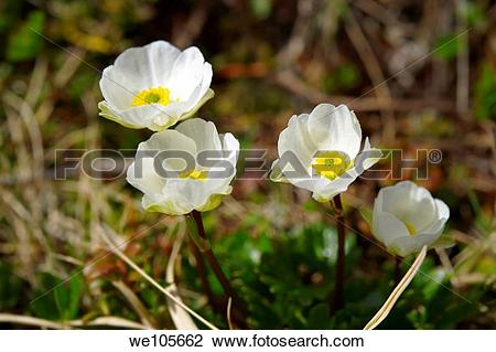 Stock Photo of Alpine Buttercup Ranunculus Alpestris , Bernese.