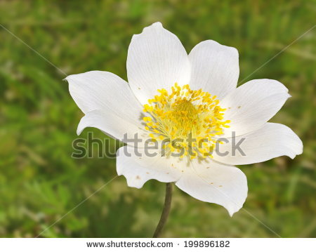 Alpine Anemone Stock Photos, Royalty.