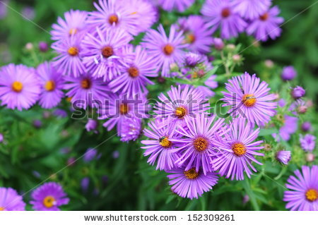 Aster Aster Stock Photos, Royalty.