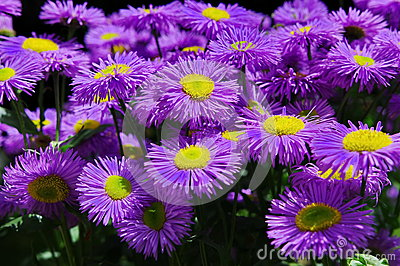 Alpine Aster Royalty Free Stock Images.